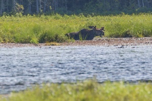 moose at March Hare Lake on the Mizzy Lake trail, Algonquin Park