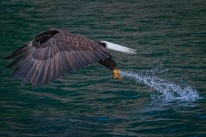 Alaska Eagle