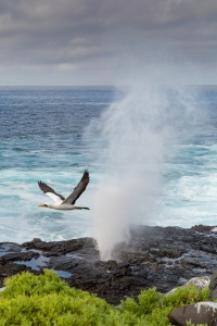 A Masked Booby through a blow hole